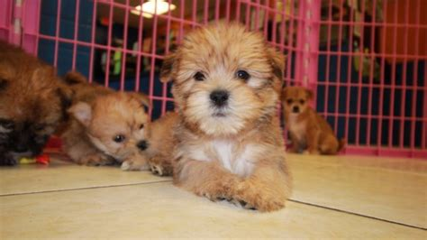 yorkie puppies for sale in atlanta lovely golden yorkie tzu puppies for sale atlanta at puppies for sale local