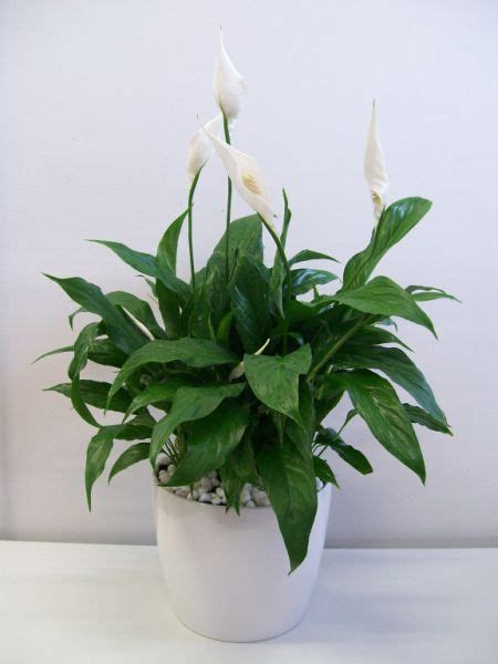 peace lily in bathroom 9 best home plants images on pinterest indoor house