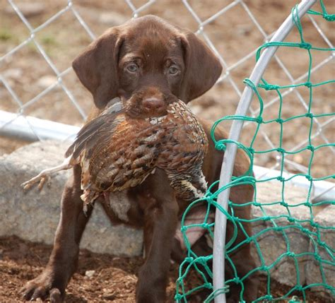 pudelpointer puppies for sale pudelpointer puppies for sale high pudelpointers