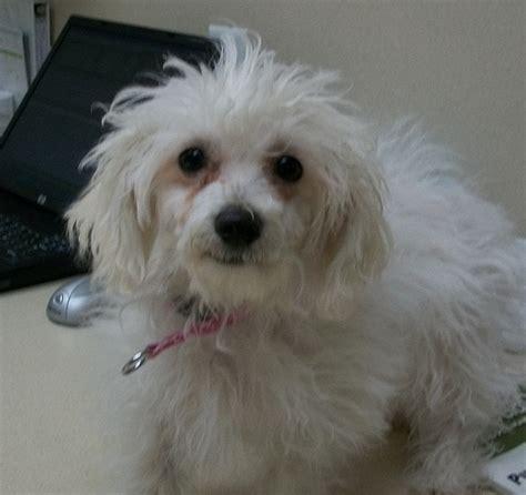 maltese yorkie poodle mix flickriver olathe animal hospital in olathe ks s photos tagged with hybrid