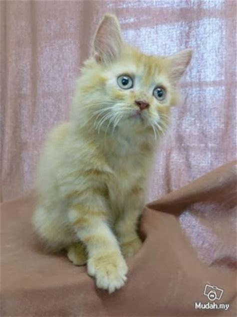 koleksi gambar kucing comel travel malaysia