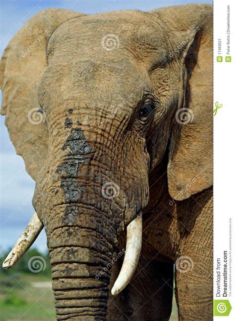 elephant face stock image image