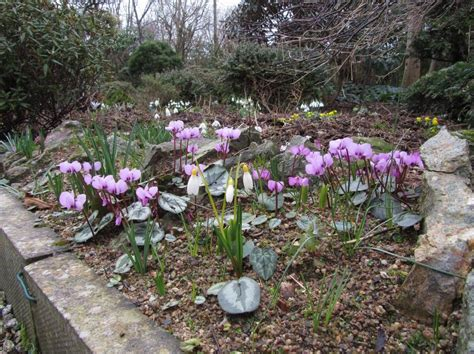 Scottish Rock Garden Club Scottish Rock Garden Club