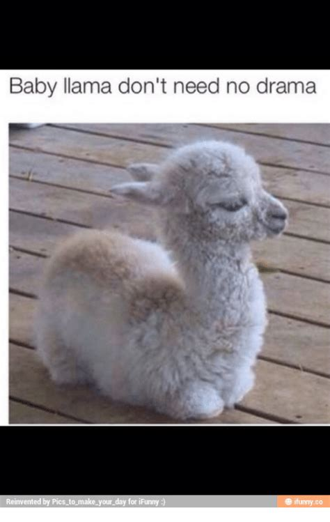 Shaved Llama Meme - baby llama don t need no drama e ifunnyco reinvented by