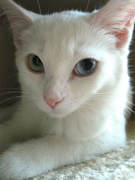 white cat with odd eyes 9 best images about easter pets on pinterest