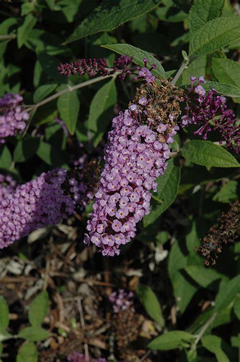 flutterby lavender butterfly bush buddleia davidii