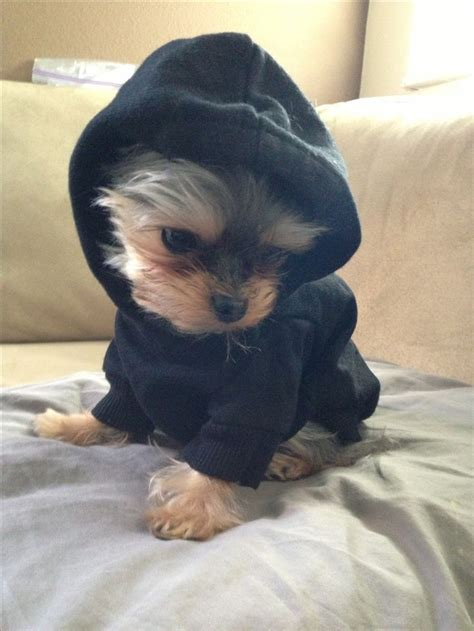 baby dogs yorkie gangster yorkie baby v puppies of and yorkies