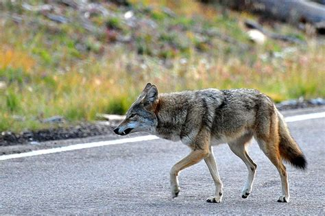 will a coyote attack a coyotes attack a fourth child in a california town viralspell