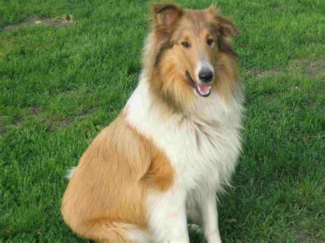 collie breed collie history personality appearance health and pictures