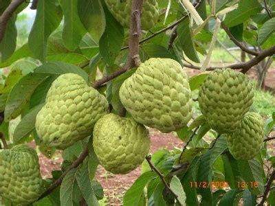 Bibit Sawo Jumbo Atau Bangkok Manis Sedang Berbuah dunia perkebunan buah srikoyo jumbo autralia
