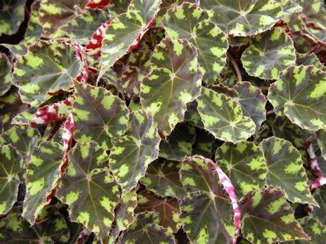 rhizomatous begonia begonias pinterest