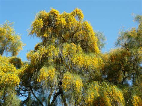 alberi da giardino fioriti giardini in gallura alberi fioriti per l estate genista