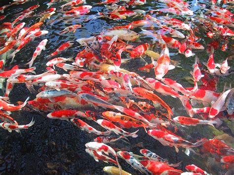 Bibit Ikan Koi Koi Wallpapers Animals Town