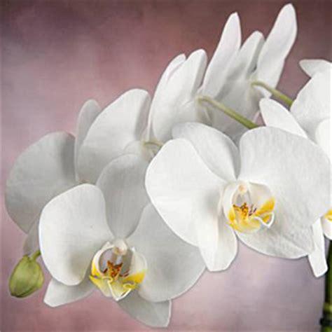 www zuhause de orchideen richtig pflegen