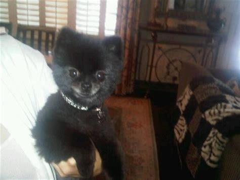 pomeranian chow mix puppies pin pomeranian chow mix on