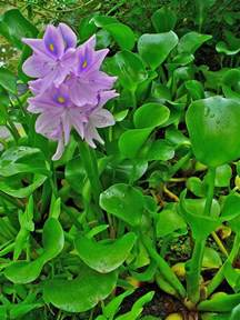 Water Hyacinth Research Paper water hyacinth eichhornia crassipes feedipedia
