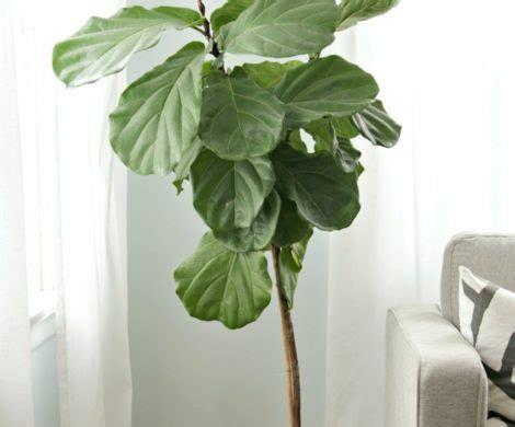 geigenfeige kaufen topfpflanzen die geheimnisse der geigenfeige pflege