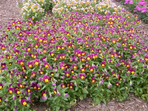 Hybrid Mba Program Site Umass Edu by Hybrid Pansy Umass Amherst Greenhouse Crops And