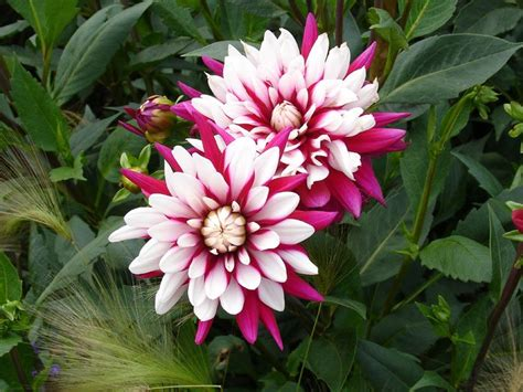 welche blumen sind winterhart herbstblumen die herbstblume