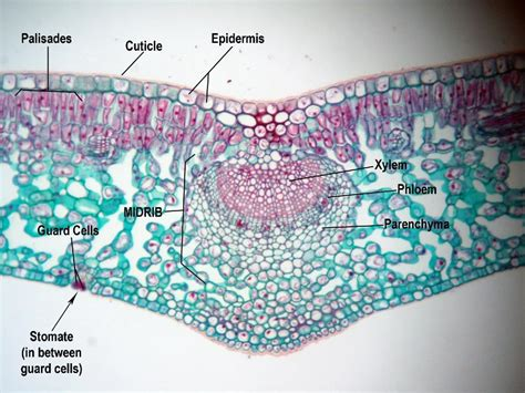 dicot leaf cross section plant structures and functions biology 2013 with smith
