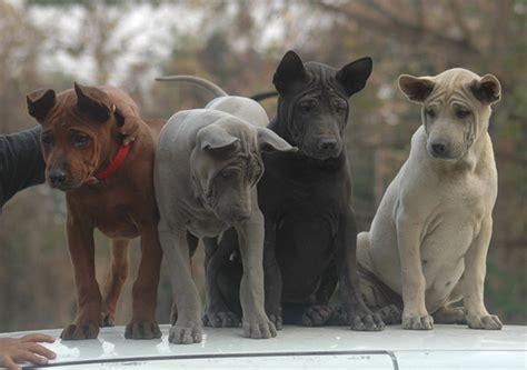 thai ridgeback puppies thaidog
