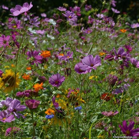 butterfly hummingbird wildflower seed mix american meadows