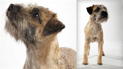types of terrier dogs border terrier breed selector animal planet