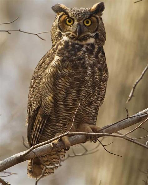 great horned owl audubon field guide