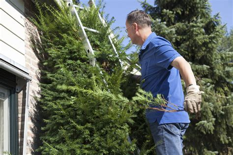 tips on pruning japanese yews cutting back japanese yews