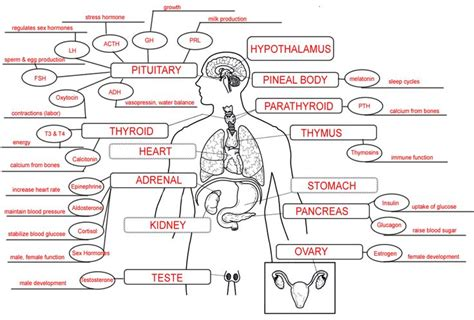 Human Hormones Worksheet by Endocrine System Concept Map Nursing