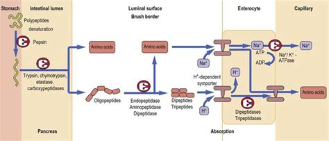 protein absorption digestion and absorption of nutrients biochemistry