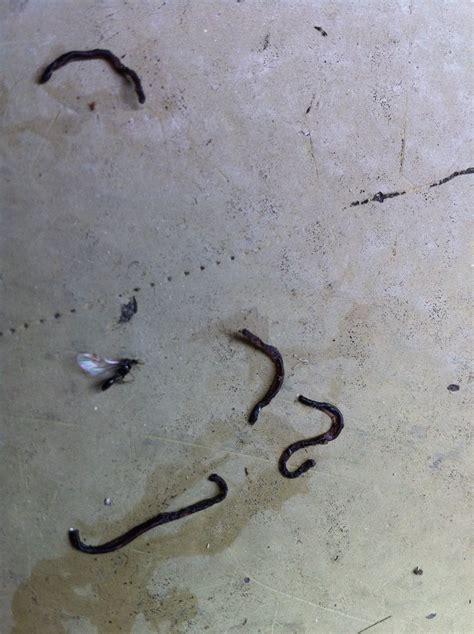 maden teppich was ist das bild schwarze w 252 rmer fallen aus topfpflanze