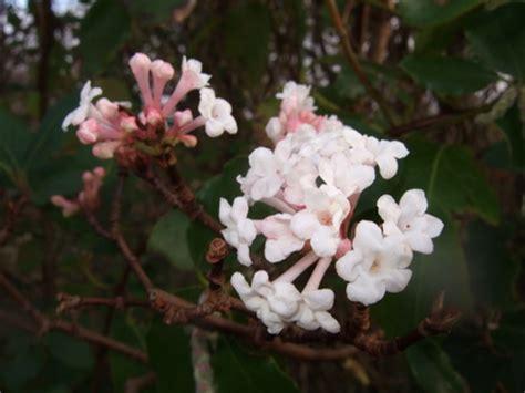 fragrant white flowering shrubs fragrant flowering shrubs