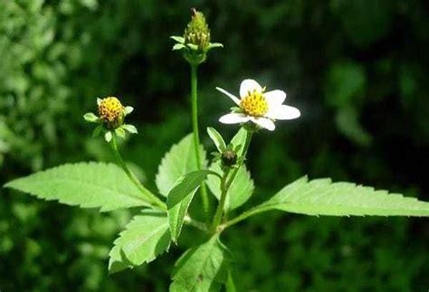 Tanaman Obat Jahe Kebo jenis tanaman obat lengkap dari a z beserta gambar dan