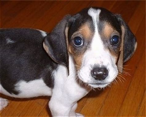 walker coonhound puppies treeing walker coonhound breed information and pictures