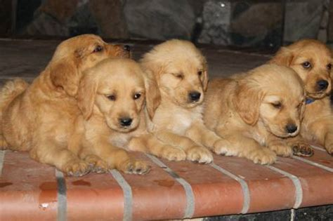 golden retriever breeder chicago akc golden retriever puppies for a carinf home chicago dogs for sale puppies for