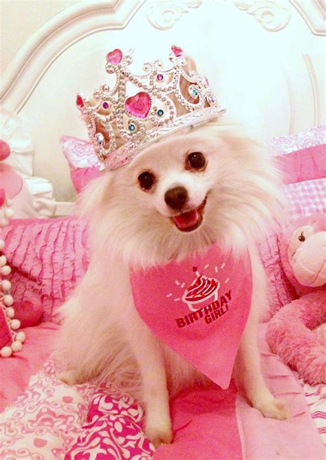 pomeranian birthday 99 best images about crowns and tiaras on aquamarines dolce gabbana and