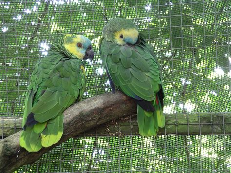 amazon parrot birds blue fronted amazon
