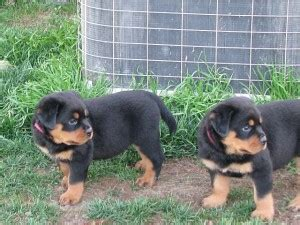 rottweilers for sale houston rottweiler for sale petsale inc