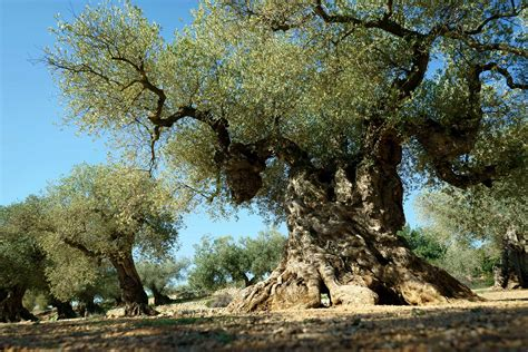 olive tree giving new to ancient olive trees in spain ulivita