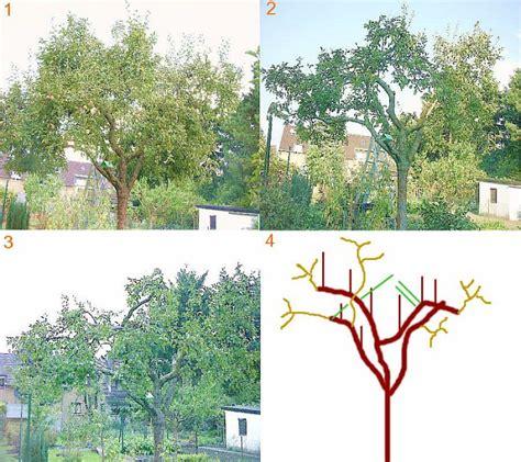 Obstb Ume Pflanzen Wann 4054 by Jungen Apfelbaum Schneiden Jungen Apfelbaum Schneiden