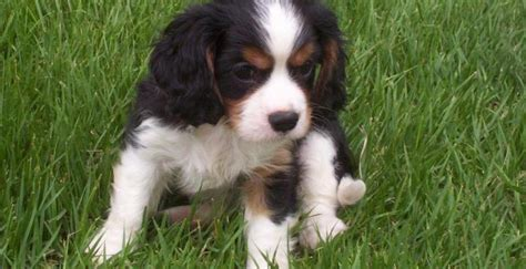 dogs for sale in arkansas puppies for sale northwest arkansas breeds picture