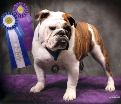 bulldog puppies virginia breed bulldog breeds picture