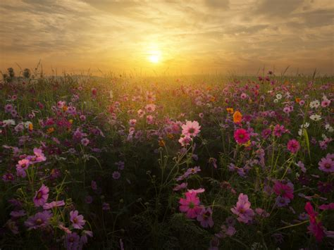 wallpaper cosmos flowers sunrise bloom blossom