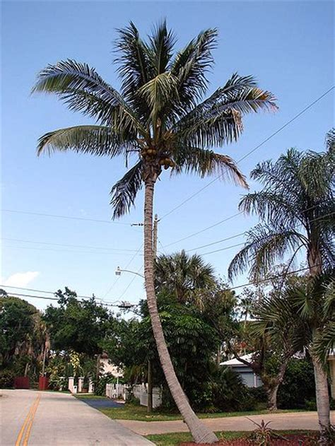 California Palm Hang Outs Capistrano Coconut cocos nucifera maypan palmpedia palm grower s guide