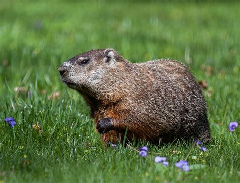 groundhog day utah massachusetts state groundhog ms g