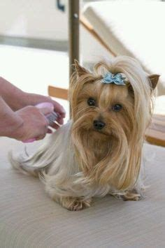 yorkie haircuts for a silky coat look at that coat yorkies need to be bathed and groomed
