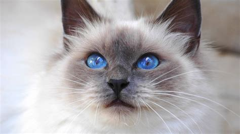 Birman Cat: Looks, Personality, and How to Care for Your