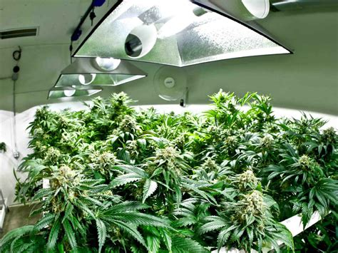 no light plants how far should your grow light be to marijuana plants in