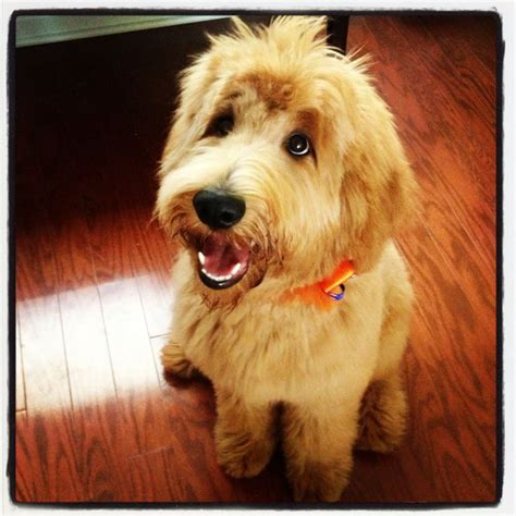 mini goldendoodles health issues 50 best images about furbabies on the 20s the